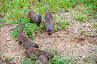 Mongoose gathering