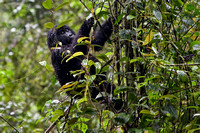 Young gorilla climbing tree