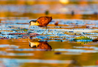 African Jacana Reflected in Water