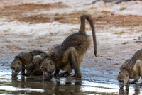 Baboons Drink