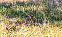 Lions Hidden with Cub