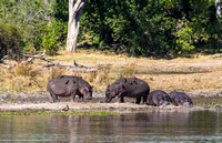 Oxpeckers on Hippos