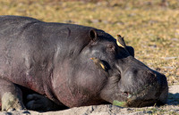 Oxpeckers on Sleeping Hippo
