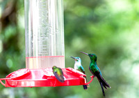 Green-crowned Brilliant, male (hummingbird)