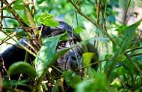 Adult gorilla peeking through brush