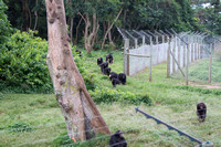 Chimps arrive for dinner