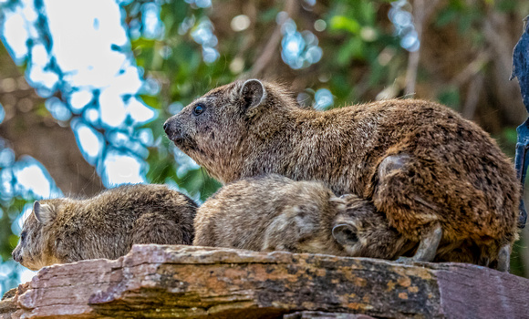 Rock Hyrax nursing
