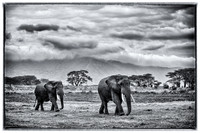 Marching under Ngorongoro Crater Clouds in black and white