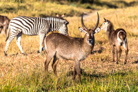 Male Common Waterbuck with Zebras