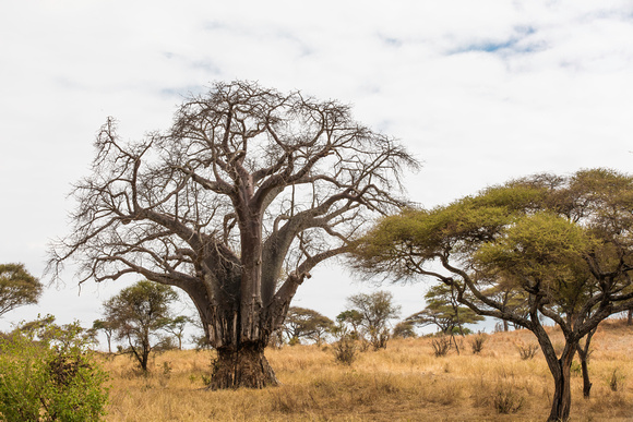 Elephant-damaged Baobab tree