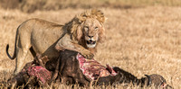 Lion preening with kill