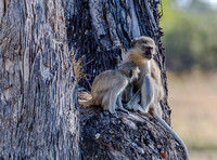 Vervet Monkey Nursing