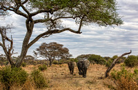 Elephants in Tarangire National Park, color